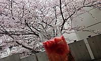 120160401_hanami_hiru_n