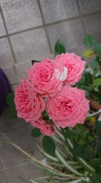 20190721_roses_n