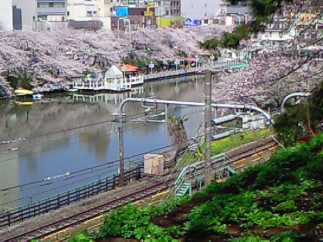 満開の桜&カナルカフェ(飯田橋