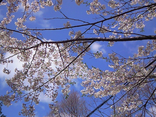 桜(軽井沢)