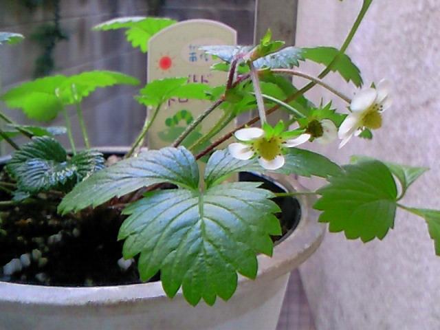 ワイルドストロベリーの花②