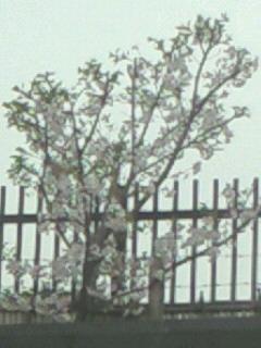 葉桜ですが…
