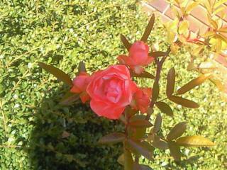 母が植えたバラ