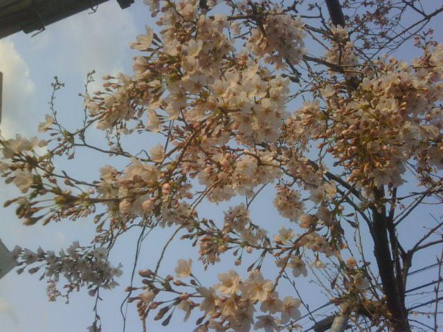 やっと桜が咲きました!