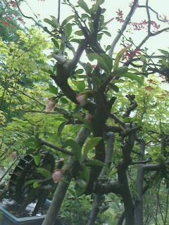 軽井沢に移植した木逹